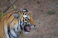 积极的公老虎在密林 免版税库存照片