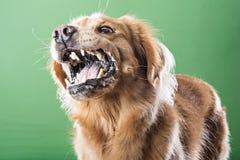 积极的咆哮狗 免版税库存照片