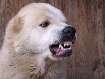 积极的恼怒的狗咆哮声,露出的牙危险 免版税图库摄影