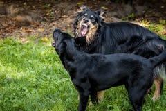 积极的成人狗对一点黑拉布拉多 库存照片