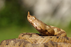 积极的毒蛇画象  免版税图库摄影