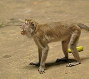 积极的猴子 图库摄影