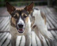 积极的看的狗 免版税库存图片