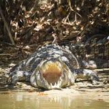 积极的鳄鱼 免版税图库摄影