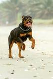 积极的Rottweiler狗 库存照片