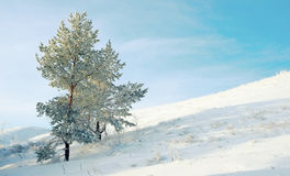 积雪孤独的杉木 库存照片