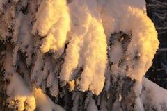 积雪的云杉的树枝 免版税库存照片