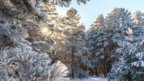 积雪的冬天森林 免版税库存图片