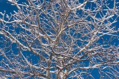 积雪的冬天白杨木树 免版税库存照片