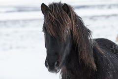 积雪的冰岛马 库存图片