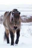 积雪的冰岛马 库存照片