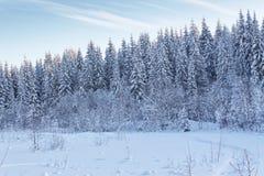 积雪的冷杉木在多雪的森林里 免版税图库摄影