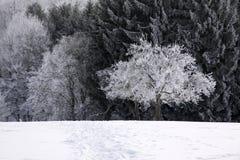 积雪的冷漠的森林 免版税库存图片