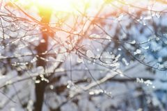 积雪的分支在冬天在背后照明,关闭停放 免版税库存照片