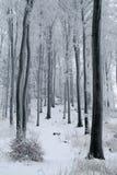积雪的山毛榉森林 图库摄影