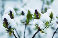 积雪的开花的丁香 免版税库存照片