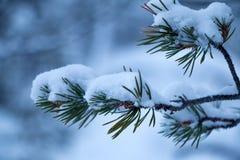 积雪的杉木分行 库存照片