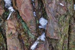 积雪的杉木吠声 免版税库存照片