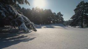 积雪的杉木的冬天森林顶视图的航拍 在雪的高大的树木 股票视频