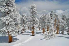 积雪的杉木 免版税库存照片