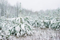 积雪的杉树在冬天和领域,圣诞节大气 库存图片
