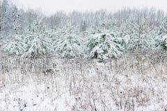 积雪的杉树在冬天和领域,圣诞节大气 图库摄影