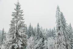 积雪的杉树森林本质上在雪风暴以后的 库存图片