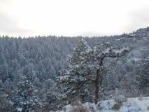 积雪的杉树 库存照片