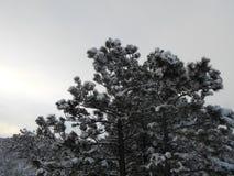 积雪的杉树 免版税库存照片