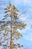 积雪的杉树 免版税库存图片