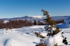 积雪的杜松分支在冬天 免版税库存照片