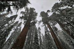 积雪的树低角度视图在美洲杉国家公园加利福尼亚 库存图片