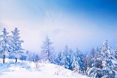 积雪的树在冬天森林里 免版税库存照片