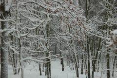 积雪的树在冬天森林里 库存照片