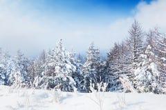 积雪的树在冬天森林里 免版税库存图片