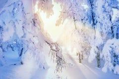 积雪的树在日落的冬天森林里 库存照片