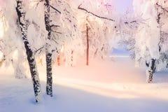积雪的树在日落的冬天森林里 免版税图库摄影
