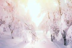 积雪的树在日落的森林里 免版税库存图片