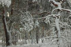 积雪的树在童话冬天森林里 免版税库存图片