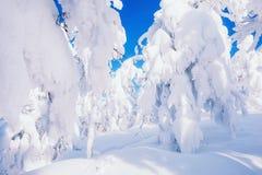 积雪的树在降雪以后的一个森林里 图库摄影