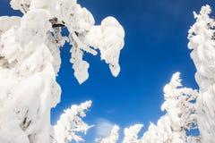 积雪的树在降雪以后的冬天森林里 免版税库存照片
