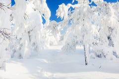 积雪的树在降雪以后的冬天森林里 库存图片