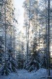 积雪的树在黄昏的一个森林里 库存照片