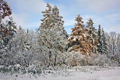 积雪的树在11月天 免版税库存图片