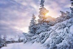 积雪的树在tatra山冬天晒黑光 库存照片
