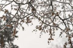 积雪的树枝 库存图片