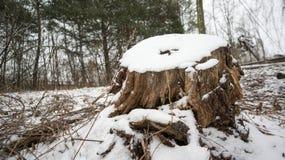 积雪的树桩在森林 库存照片