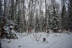 积雪的树,白雪雪雪漂移女巫冬天,冬天剪影,雪幻想 免版税库存照片