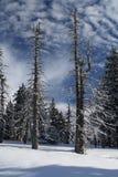 积雪的树 免版税图库摄影