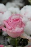 积雪的桃红色玫瑰 图库摄影